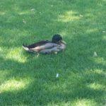 Yay for Ducks